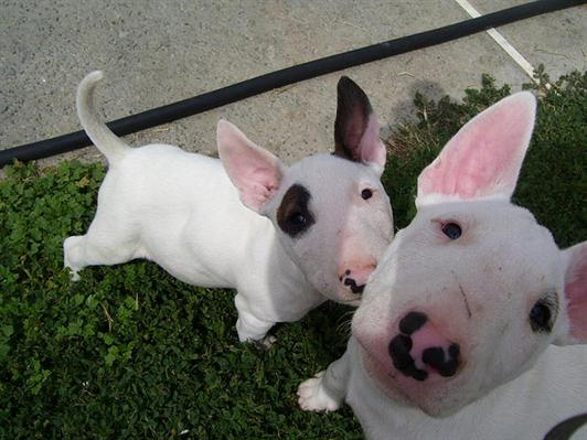 Bull terrier cachorros disponible