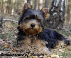 yorkshire terrier colombia
