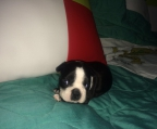Criadores Boston Terrier