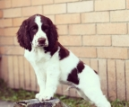 Springer Spaniel Ingles Disponible¡