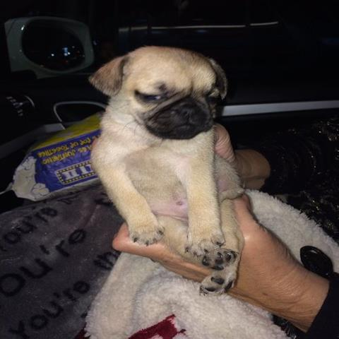 Cute Puppies Looking Pug para Lovely Casas