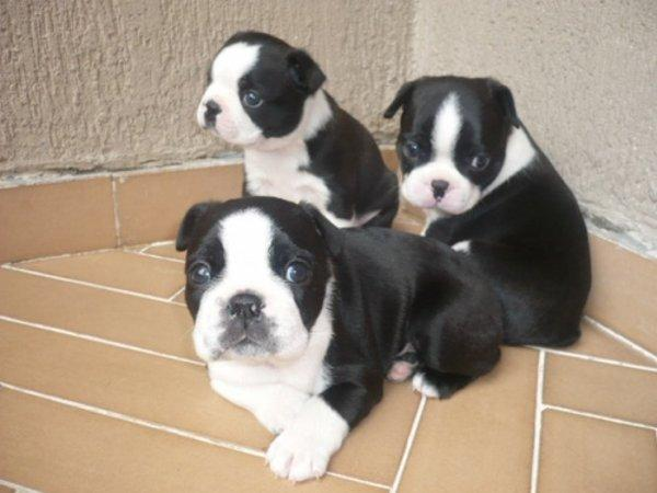 Gran oportunidad, cachorros de Boston terrier