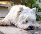 Criadero west highland white terrier