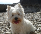 nueva camada west highland white terrier