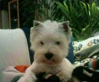 cachorros west highland white terrier
