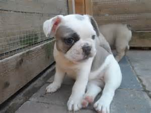 ADORABLE BULLDOG INGL�S CACHORROS