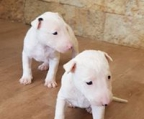 camada de bull terrier color blanco