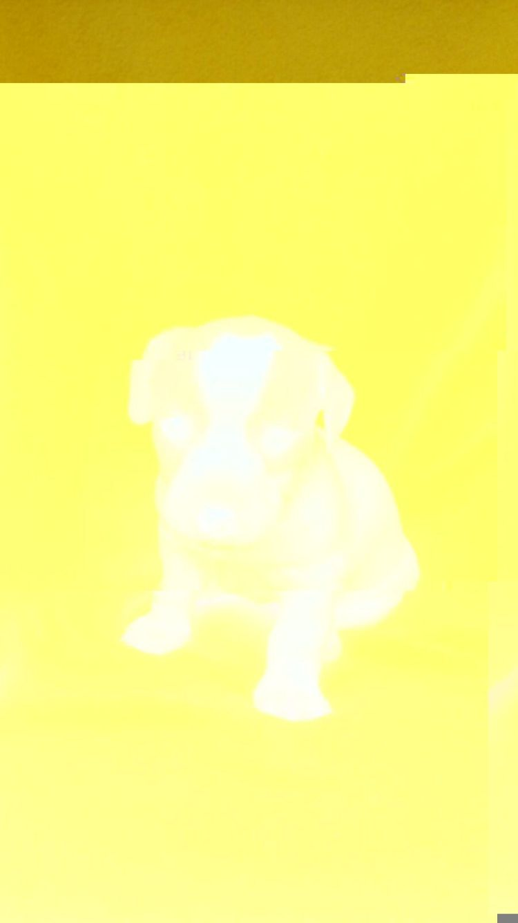 Jack Russell Terrier en Colombia, Cachorros de Jack Russell Terrier ... White Parson Russell Terrier