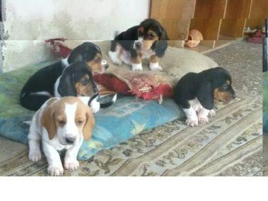 perro beagle precio colombia