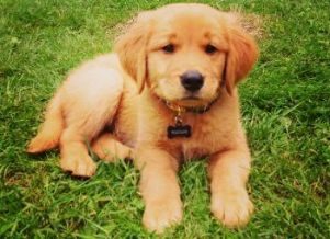 Venta Perros Cachorros Cachorros Y Mas Cachorros Html