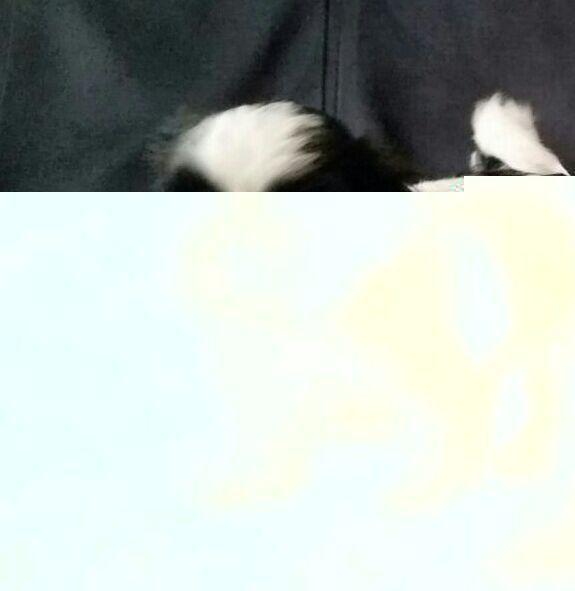 Cachorros Shih Weimaraner Cachorro Imagenes Perritos Con